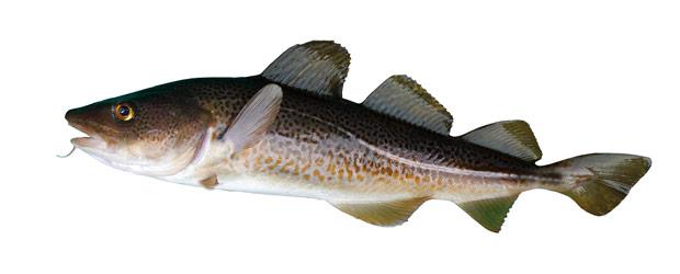 bacalao