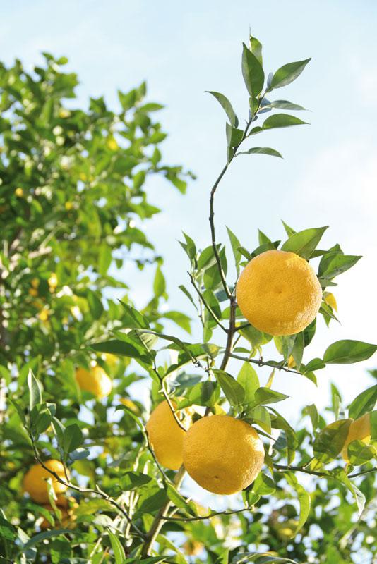 El Yuzu (Citrus Junos) es el fruto de un árbol espinoso